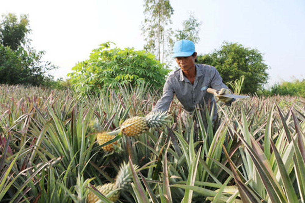 pineapple cultivation in vietnam